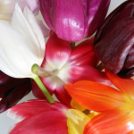 Stockfotografie: vrolijke bonte Hollandse tulpen