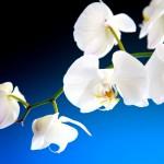 Orchidee tegen een blauw zwarte achtergrond, stockfoto